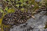 Alpenviper, Weibchen aus dem Berner Oberland