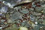 Die Würfelnatter sucht auch in kalten Bergbächen nach Nahrung.