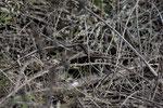 Balkan-Ringelnatter (Natrix n. persa)