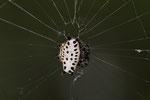 Krebsförmige Stachelspinne (Gasteracantha cancriformis)