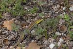 Europäisches Schlangenauge (Ophisops elegans macrodactylus), Männchen