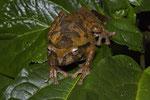 Mexikanischer Baumfrosch (Smilisca baudinii)