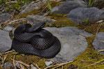 Alpenviper, melanotisches Weibchen aus dem Berner Oberland