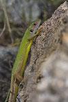 Östliche Smaragdeidechse (Lacerta viridis meridionalis), Weibchen