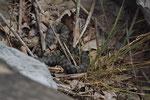 Würfelnatter-Weibchen aus der Innerschweiz