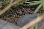 Eine weibliche Alpenviper wird geboren