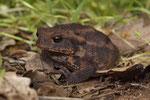 Erdkröte (Bufo bufo ssp.)