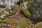 Trächtige Alpenviper beim Sonnenbad