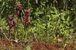 Pflugschar-Zungenstendel (Serapias vomeracea)