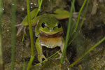 Laubfrosch-Männchen (Hyla a. arborea)