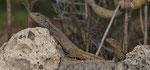 Kanareneidechse (Gallotia g. galloti), Pärchen, links Männchen, rechts Weibchen