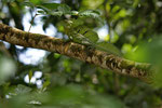 Stirnlappenbasilisk (Basiliscus plumifrons), Männchen