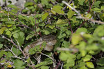 Balkanzornnatter (Hierophis gemonensis)
