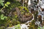 Aspisviper, Weibchen, Solothurner Jura