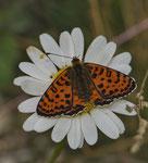 Scheckenfalter (Melitaea sp.?)