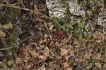 Ein prächtig gefärbtes Vipernmännchen (Vipera a. aspis)