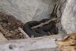 Alpenviper-Weibchen