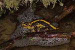 Feuersalamander (Salamandra s. terrestris), Weibchen beim Absetzen der Larven