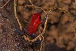 Erdbeerfröschchen (Oophaga pumilio)