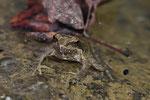 Griechischer Frosch (Rana graeca)