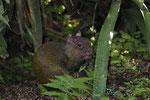 Goldaguti (Dasyprocta leporina), rechts unten ein Goldbaumsteiger