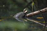 Schmuckschildkröte (Trachemys scripta ssp.)