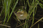 Rufendes Laubfrosch-Männchen (Hyla a. arborea)