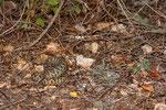Südliche Sand- oder Hornotter (Vipera a. meridionalis), Weibchen