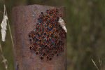 Schwalbenwurzwanzen (Tropidothorax leucopterus) beim Aufwärmen