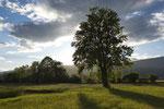 Einzelbäume, Altwasser Staad