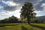 Einzelbäume, Kanton Solothurn