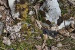 Halbwüchsige Alpenviper beim Sonnenbad