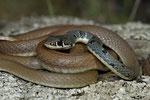 Schlanknatter (Platyceps n. dahlii)