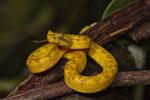 Greifschwanzlanzenotter (Bothriechis schlegelii)