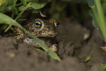Kreuzkröte auf der Wanderung zum Laichgewässser