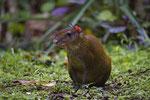 Goldaguti (Dasyprocta leporina)