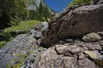 Trächtige Alpenviper aus dem Berner Oberland
