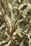 Gottesanbeterin (Mantis religiosa), Männchen