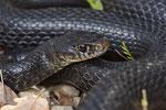 Karbonarschlange (Hierophis carbonarius), Männchen