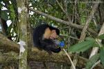 Kapuziner mit von Touristen erbeuteter PET-Flasche