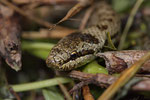 Portrait eines Schlingnatter-Weibchens