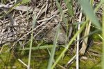 Ob Sumpf, Brackwassertümpel, Bergbach, Graben, Teich; überall anzutreffen, die Balkan-Bachschildkröte