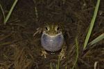 Kreuzkröte (Epidalea calamita), rufendes Männchen