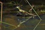Stirnlappenbasilisk (Basiliscus plumifrons), Jungtier