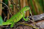 Grüner Leguan (Iguana i. iguana), Jungtier