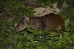 Mittelamerikanisches Aguti (Dasyprocta punctata), Jungtier