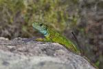 Östliche Smaragdeidechse, Männchen mit Gabelschwanz