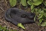Schwarzes Weibchen der Alpenviper