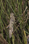 Ägyptische Wanderheuschrecke (Anacridium aegyptium)