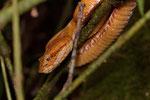Eine andere Farbvariante von Bothriechis schlegelii, Parque Nacional Cahuita